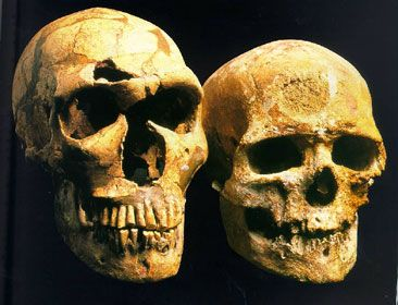 A Neanderthal  skull and a Cro Magnon skull