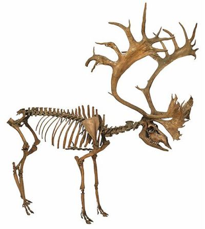 Reindeer skeleton from Villestofte