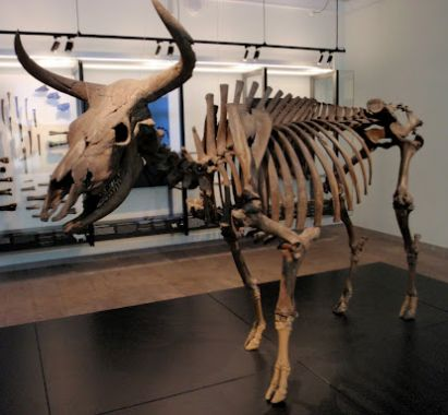 The Aurochs from Vig