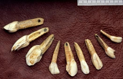 Reindeer hunter  tooth pearls from the the cave Great Orme - Kendrick's cave in Wales