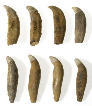 Killer whale teeth found in a settlement at Lystrup Enge