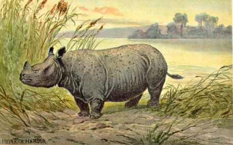 Teleoceras, a now  extinct species of rhinoceros from the Miocene