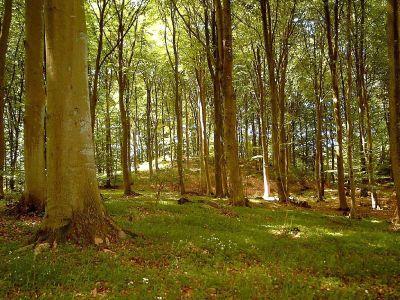 Til højre oprindelig skov på mols det danske landskab kunne have