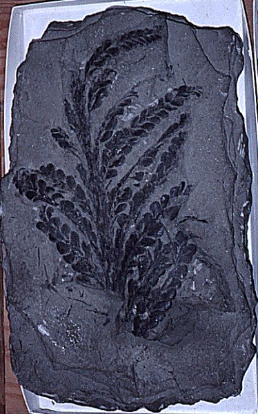 Fossil of plant from Silurian