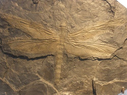 Fossil of Meganeura