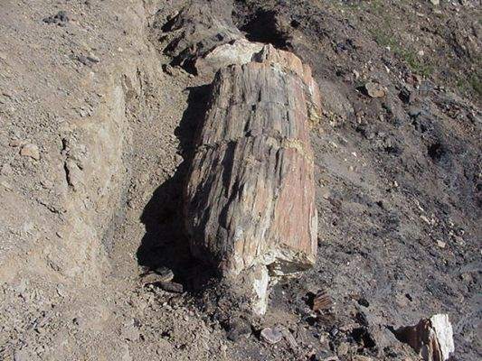 Petrified tree trunk  from the Paleocene at Stenkul Fjord on Ellesmere Island