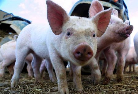 Export of Danish piglets to China