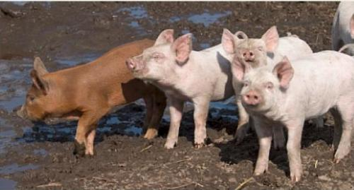 Pigs live together in a social structure based on ranking